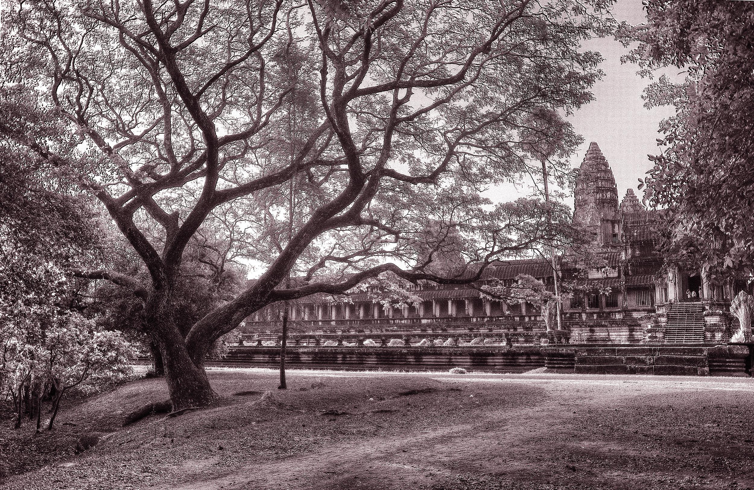 Old Bonsai-style tree at Angkor Wat