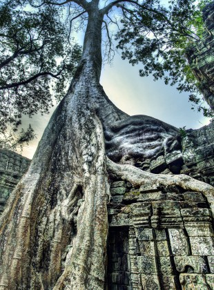 Roots on the Ancient Temple of Ta Prom