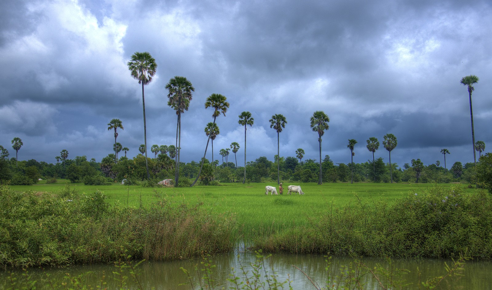 Monsoons over the Rice Paddy